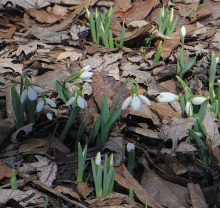 SnowDrops-Norwood